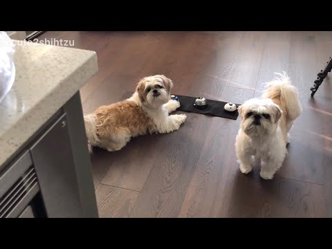 [shih tzu] Furry Duo practice ringing the call bell during meal time