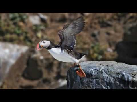 Puffins And Global Warming