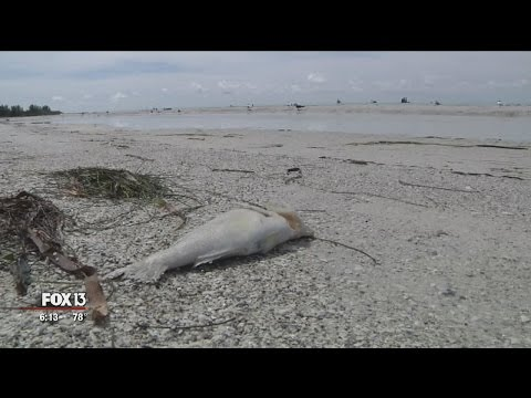 Red tide returns to Florida beaches