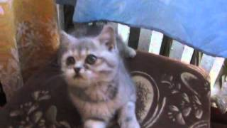Наша британочка в детстве. Котенок Kitty 2 месяца