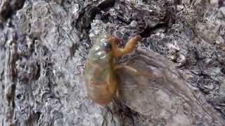 東京人形町明治座前で見かけた羽化前のセミの幼虫.