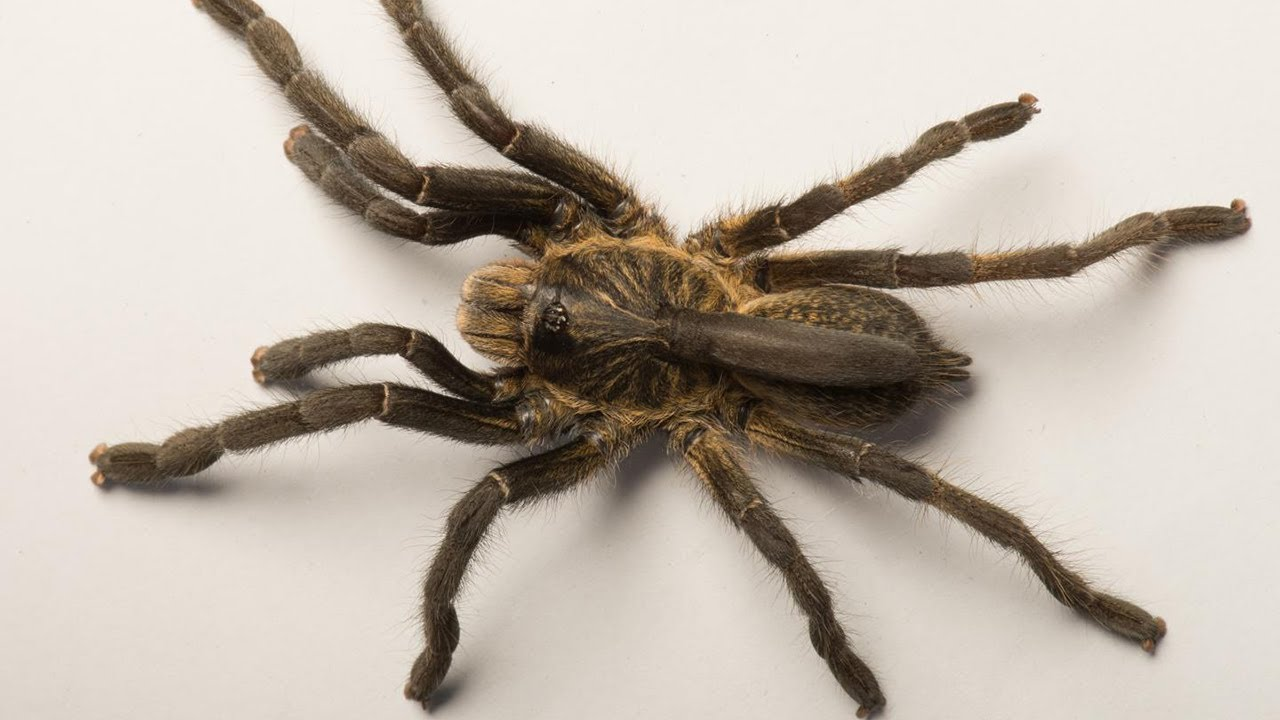 Ceratogyrus Attonitifer New Horned Baboon Spider From Angola Youtube