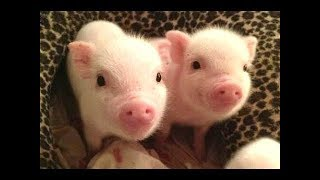 CUTE BABY PIGS COMPILATION 2018 #2 | Just Animal Videos