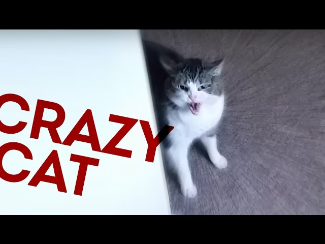 CRAZY CAT ATTACKS MAN