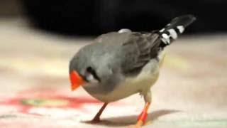 Амадина - прикольная птица)))) zebra finches funny bird )))))