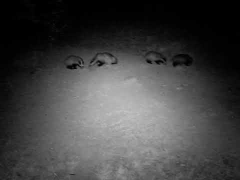 Caught on camera - nighttime badgerfest!