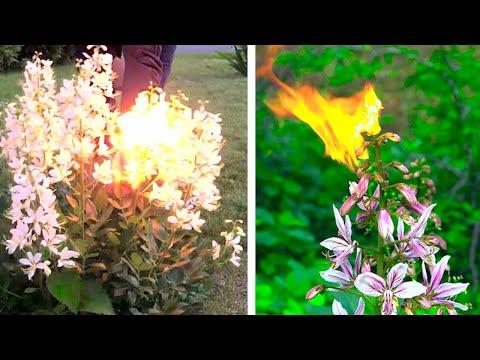 Это Растение САМОВОСПЛАМЕНЯЕТСЯ от Солнечного Света, но Остается Невредимым...
