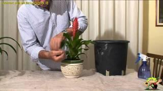 la coltivazione della bromelia