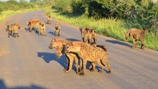 60+ Hyenas (2 Different Clans) come together - 19 December 2012 - Latest Sightings