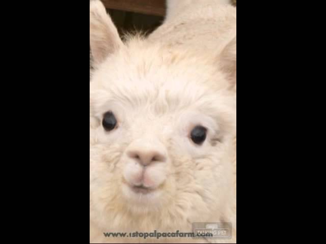 Alpaca Sings Happy Birthday Youtube