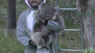 コアラ (天王寺動物園) 閉園時間が迫っているので、飼育員さんがFBにラ...