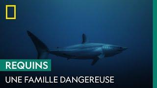 Les Carcharhinidae, ces requins mangeurs d'Hommes