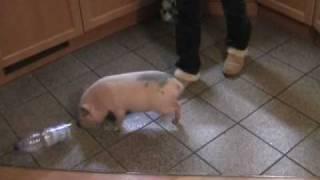 Minischwein Kunststücke