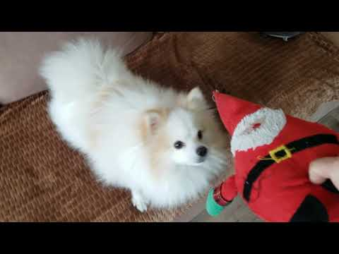 how i play with a toy,german spitz )