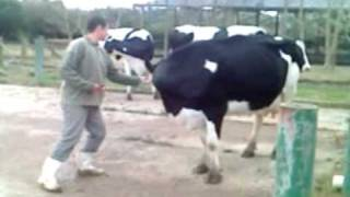 Sedução da Vaca Loca