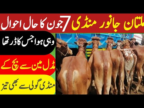 Multan Janwar Mandi | Urdu | Hindi || ملتان جانور منڈی