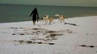 雪の海岸で3頭絡んで遊びます.