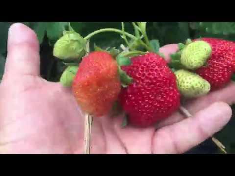 Вопрос: Как выращивать сорт земляники Сан Андреас?