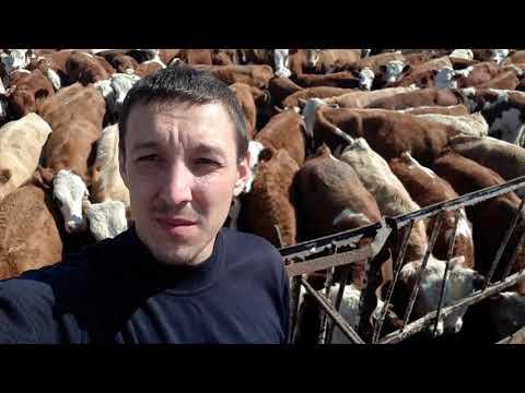 Отбор и продажа бычков мясных пород компания поставщик КРС КамАгро
