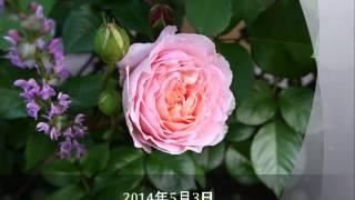 アブラハムダービー開花の様子(2014年4月29日~5月4日)