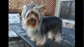 Yorkshire Terrier Bathed And Brushed