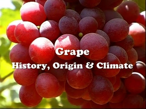 Grape - History, Origin & Climate