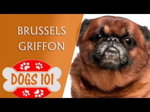 dogs-101---brussels-griffon---top-dog-facts-about-the-brussels-griffon