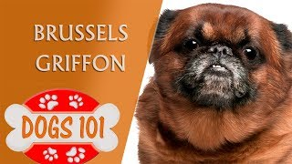 Dogs 101 - BRUSSELS GRIFFON - Top Dog Facts About the BRUSSELS GRIFFON
