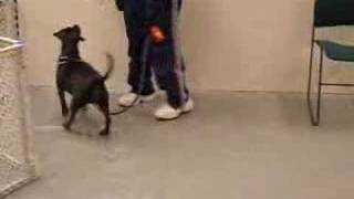 Whistler, Beagle Staffordshire Bull Terrier, Basic Training