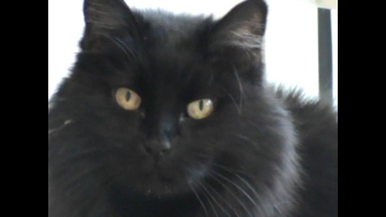 Domestc Short Hair Cat