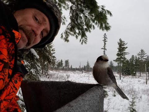 Grey Jays. Whisky Jacks. Camp Robbers. Eating out of my hand in the deer stand.
