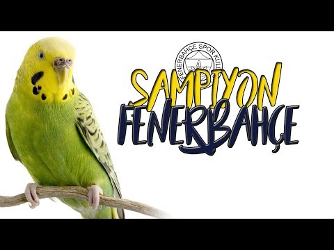 "SAMPIYON FENER: Teach Your Parrot and Budgerigar to ""CHAMP FENER"""
