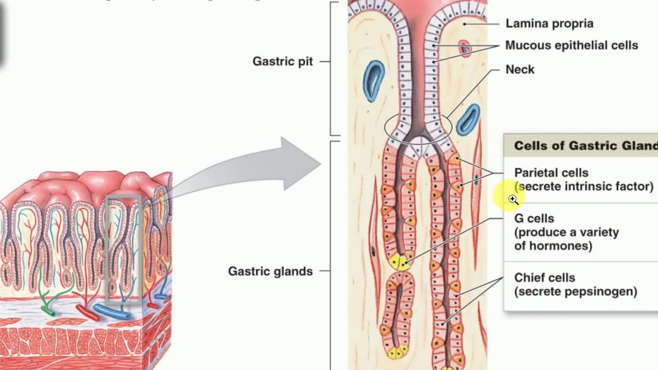 Physiology Lectures Physiology Of Gastric Acid Secretion Peptic