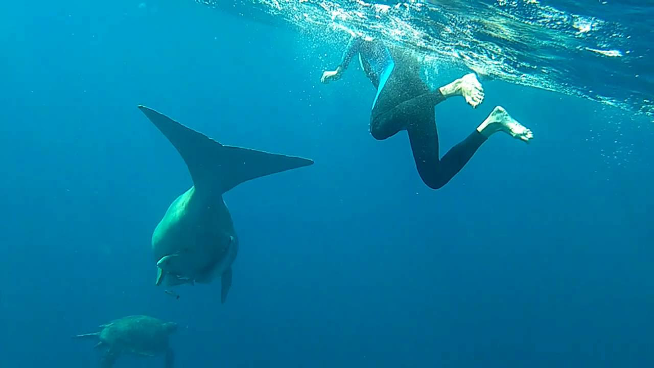 Manatee - iyi huylu deniz inek