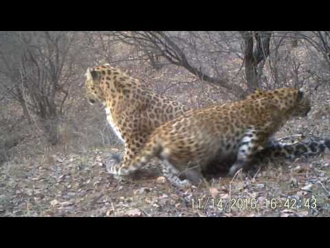North China leopards. Video courtesy of Chinese Felid Conservation Alliance.
