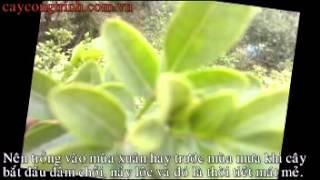 Kỹ thuật trồng cây  Nguyệt Quế
