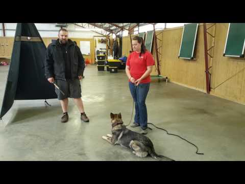 Zita von Prufenpuden 1 Yr  Protection Training Development Super Dog