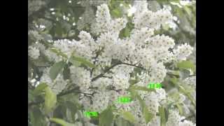 Всюди буйно квітне Черемшина. Українське караоке.