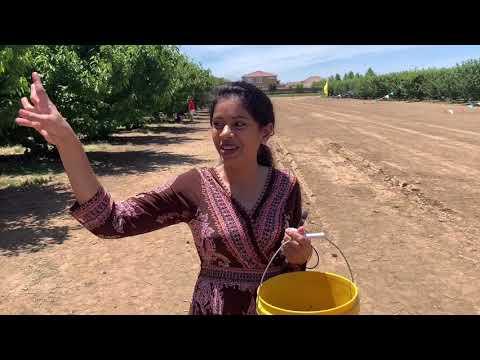 Cherry Picking In Brentwood CA, USA | USA Me Cherry Picking | Hindi  VLOG-6
