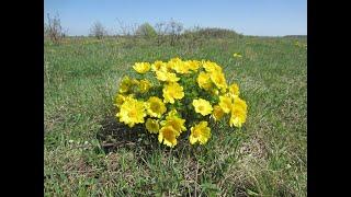 Адонис весенний (горицвет весенний), ядовитая трава, но лечебная