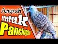 Pancingan Ampuh Burung Perkutut  Mp3 - Mp4 Download