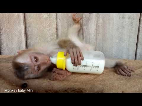 Baby monkeys drink milk with milk bottles