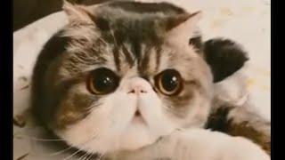 Хитрый Свин - приколы с кошками (Самые смешные коты и самые смешные кошки приколы). Funny cats