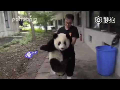 """Panda responds to his keeper's remarks on his weight with """"En"""" (which means """"yeah"""" in Chinese)"""