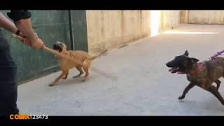هذه اشرس الجراء المهجنه من كلب بول ترير وام مالينوا مع جمال العمواسي