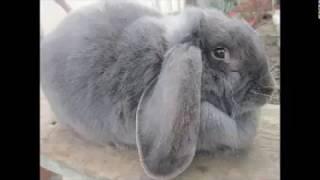 Кролики ФРАНЦУЗКИЙ БАРАН --  КРУПНАЯ ПОРОДА КРОЛИКОВ