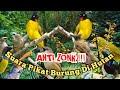 Suara Pikat Burung Ribut Anti Zonk  Mp3 - Mp4 Download