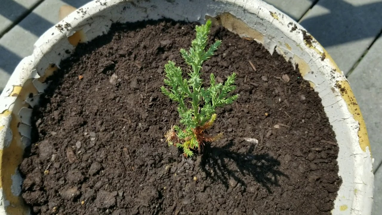 Planting A Giant Sequoia Sapling The Difference Between Introduced And Invasive Youtube
