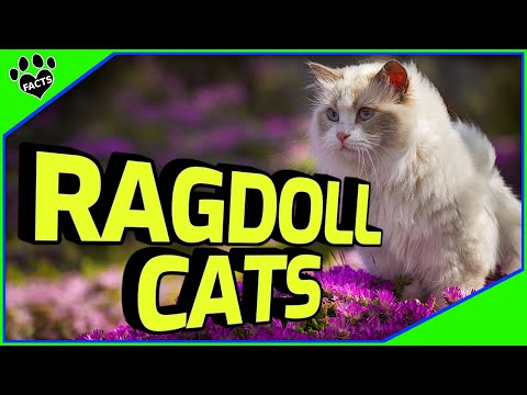 Ragdoll Cats 101  Cuddly Kitten or Alien Overlord?