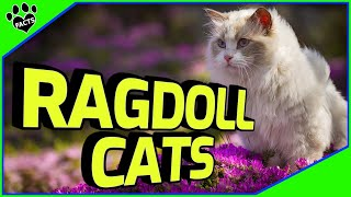 Ragdoll Cats 101  Cuddly Kitten or Alien Overlord?
